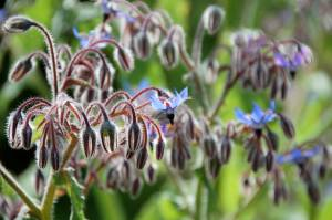 growing borage