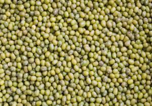 growing mung beans